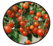 fundraiser-tomato